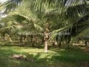 SRI LANKA COCONUT ESTATE FOR SALE WANTED IS BUYER